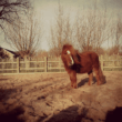 Pony Rosa slachtoffer van paardenbeul