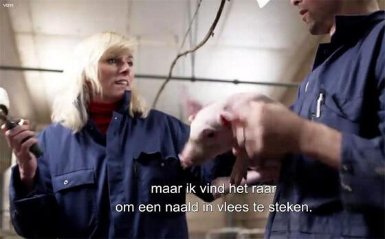 Belgische varkensboer