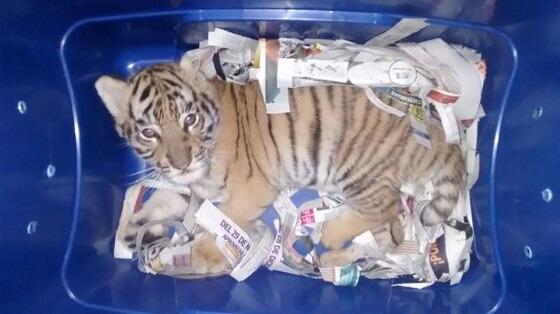 bengalees tijgerwelpje
