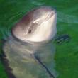 Karen's blog: Dolfinarium liegt om bruinvissen te gaan fokken