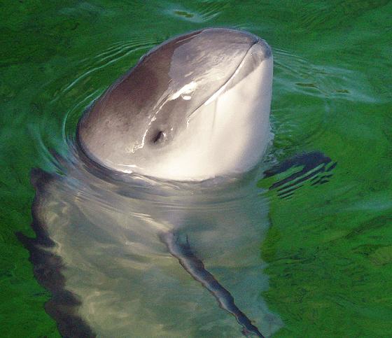bruinvissen
