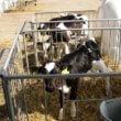 Melkveebedrijven sjoemelen er flink op los met jongvee