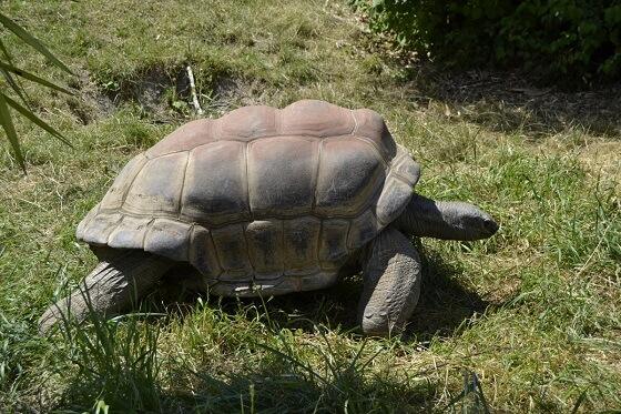 reuzenschildpadden