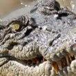 Krokodillen zwemmen rond door overstroomd gebied Australië