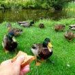 Eenden brood voeren in delen van Amsterdam verboden