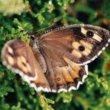 2017 geen goed jaar voor Nederlandse vlinders