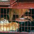 Eten van hondenvlees neemt toe in populariteit in Indonesië