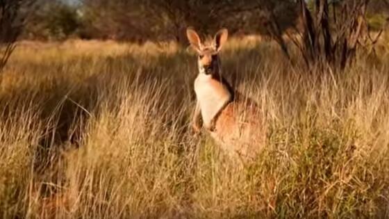 kangoeroevlees