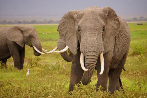 olifant met slagtanden