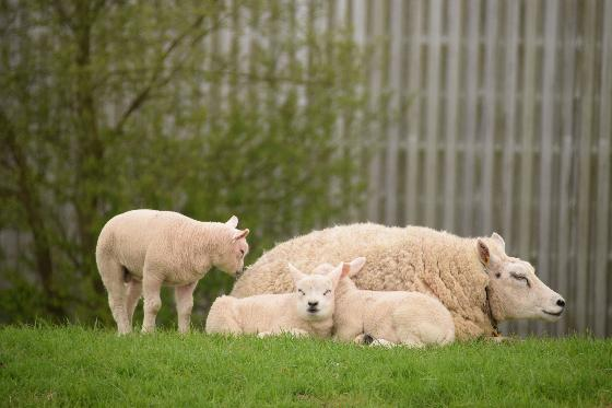 drachtige schapen