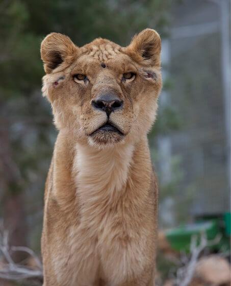 leeuw Govani