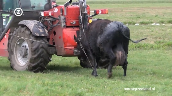 ontsnapte koeien