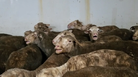 schapentransport
