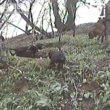 Geheim netwerk van dassenjagers in Wales ontmaskerd