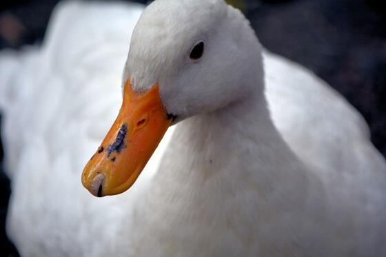 Tomassen Duck-To