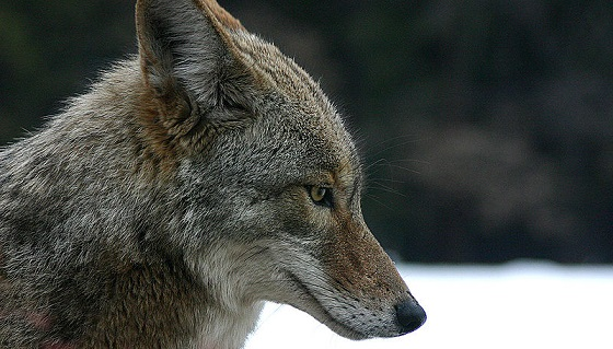 coyote derby