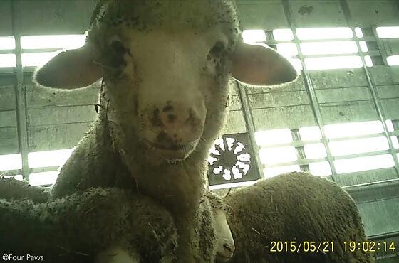 Internationale actiedag tegen verre veetransporten