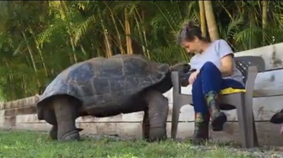 reuzenschildpad