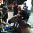#GNvdD: Trekpaard in Argentinië gered na in elkaar te zijn gezakt