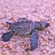 babyschildpadjes