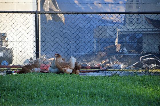 kippen dood