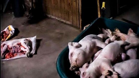 varkensindustrie