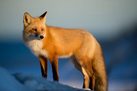 vossenjacht