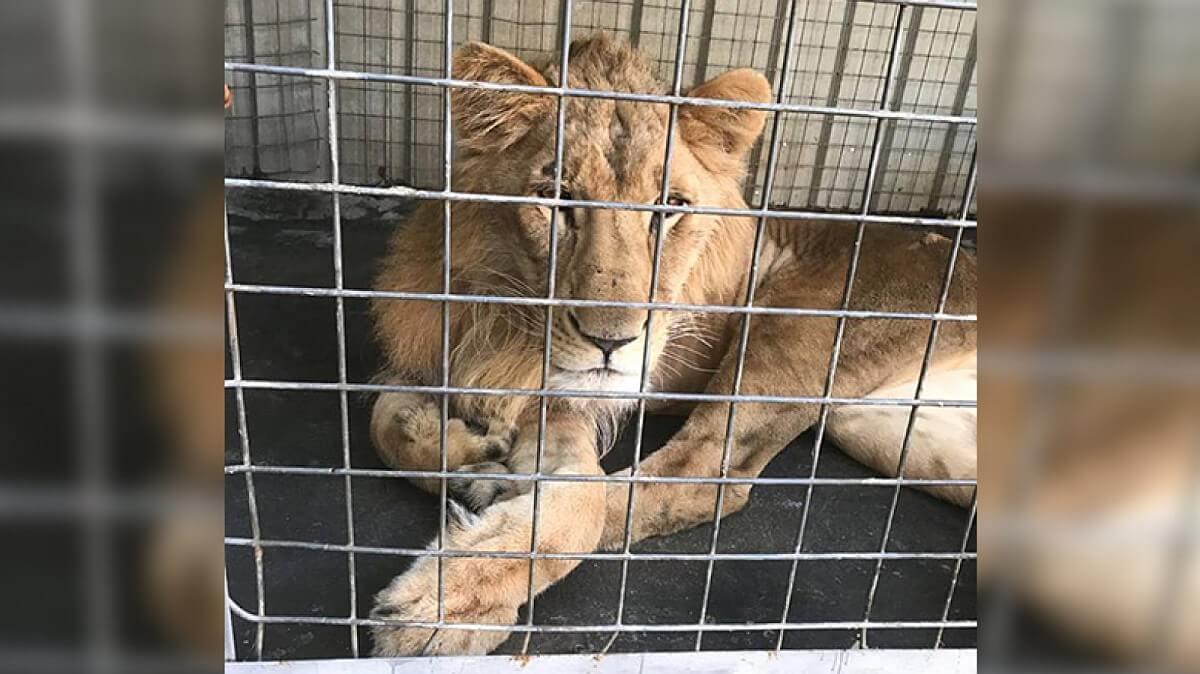 Leeuw Simba