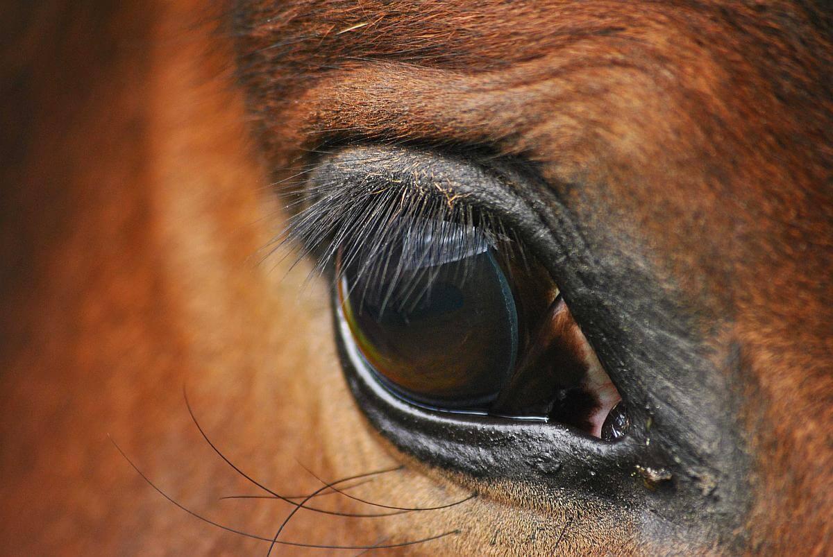 paardensjoemelaar