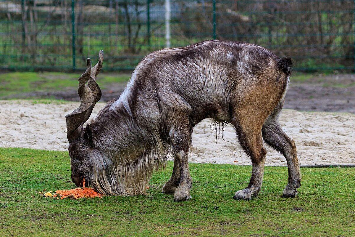 recordbedrag trofeejacht zeldzame geit
