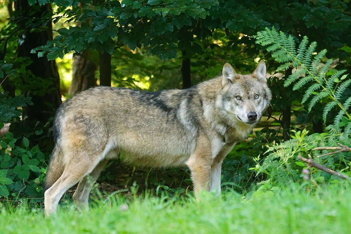 Westerse wolf