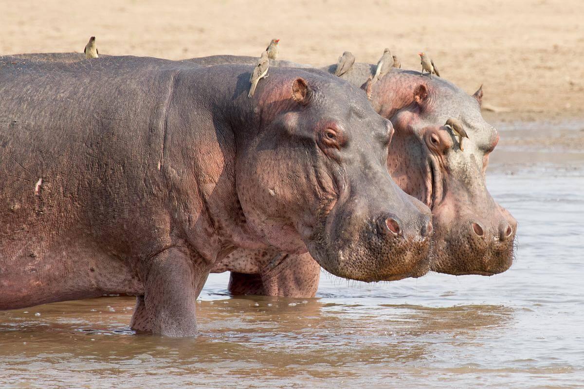 nijlpaarden afschieten