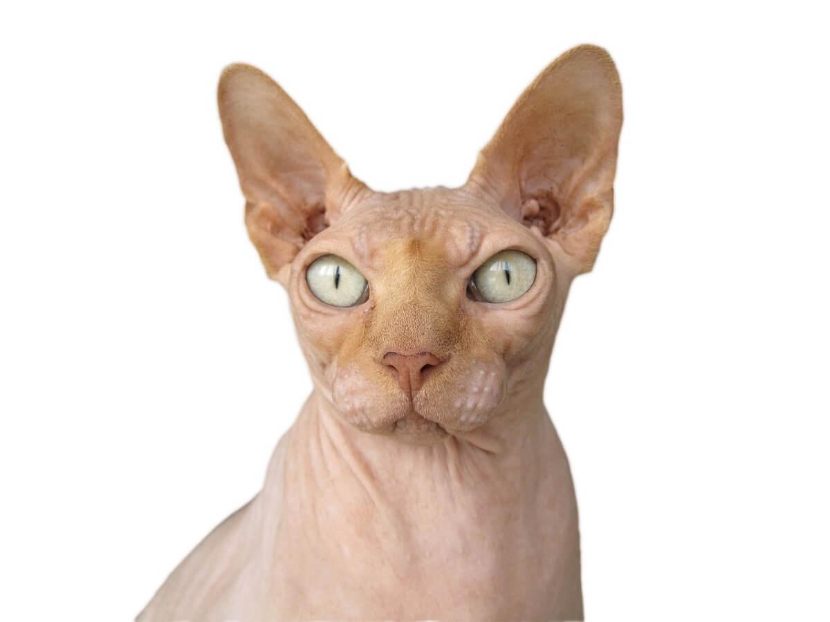 kattenrassen
