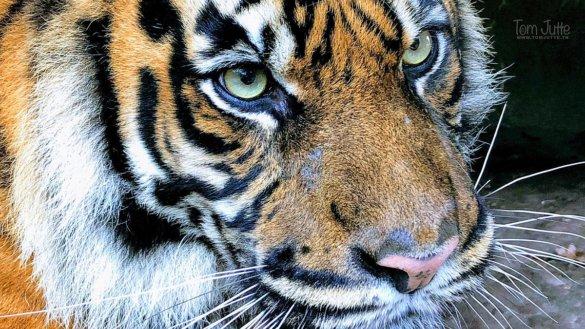 stropen tijger