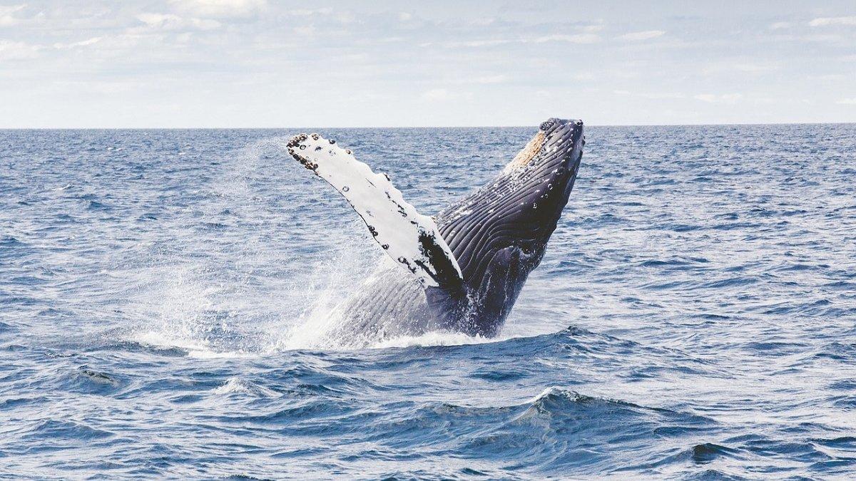 baleinwalvissen