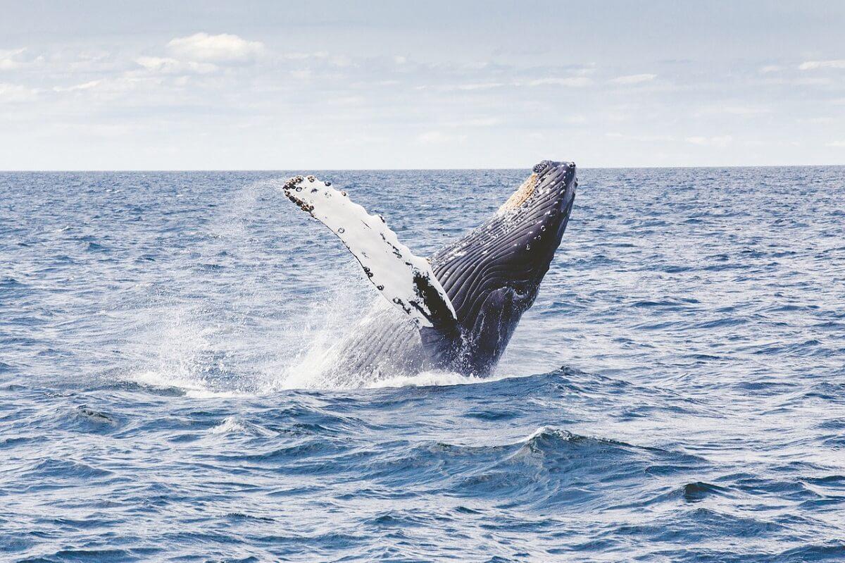 walvisvlees