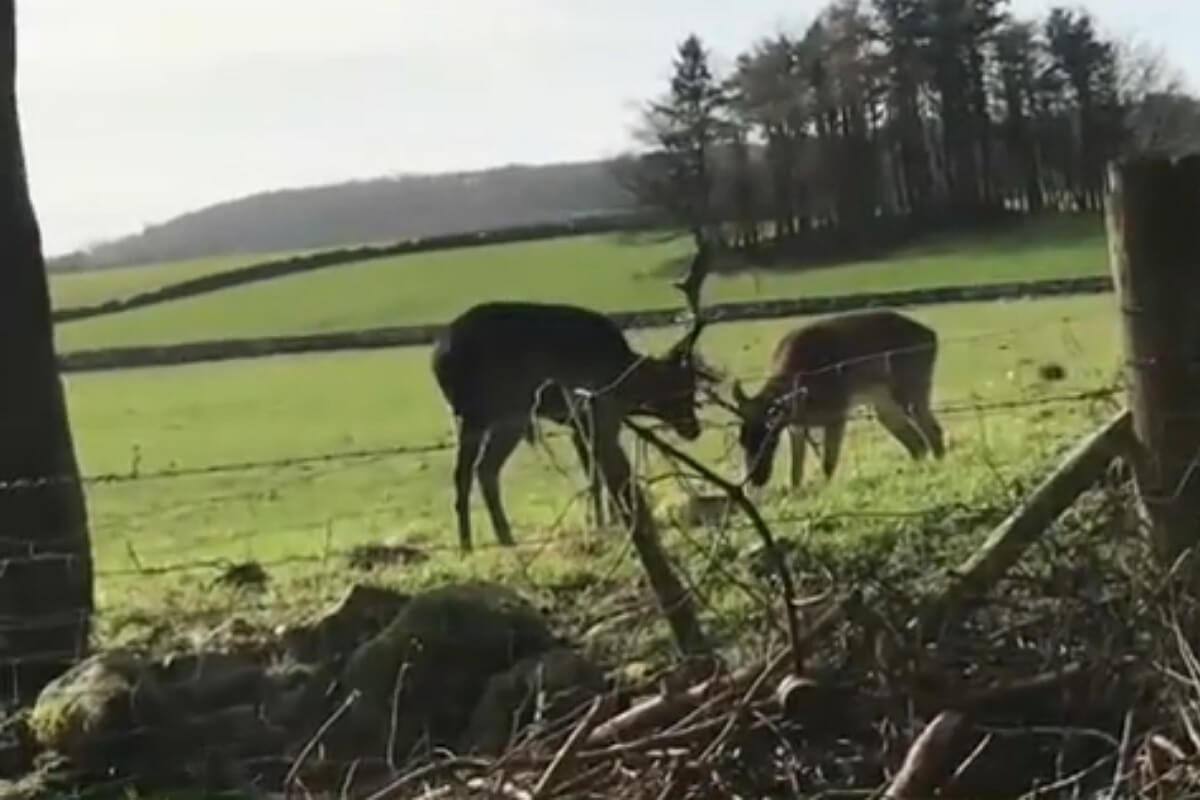 verstrikte herten