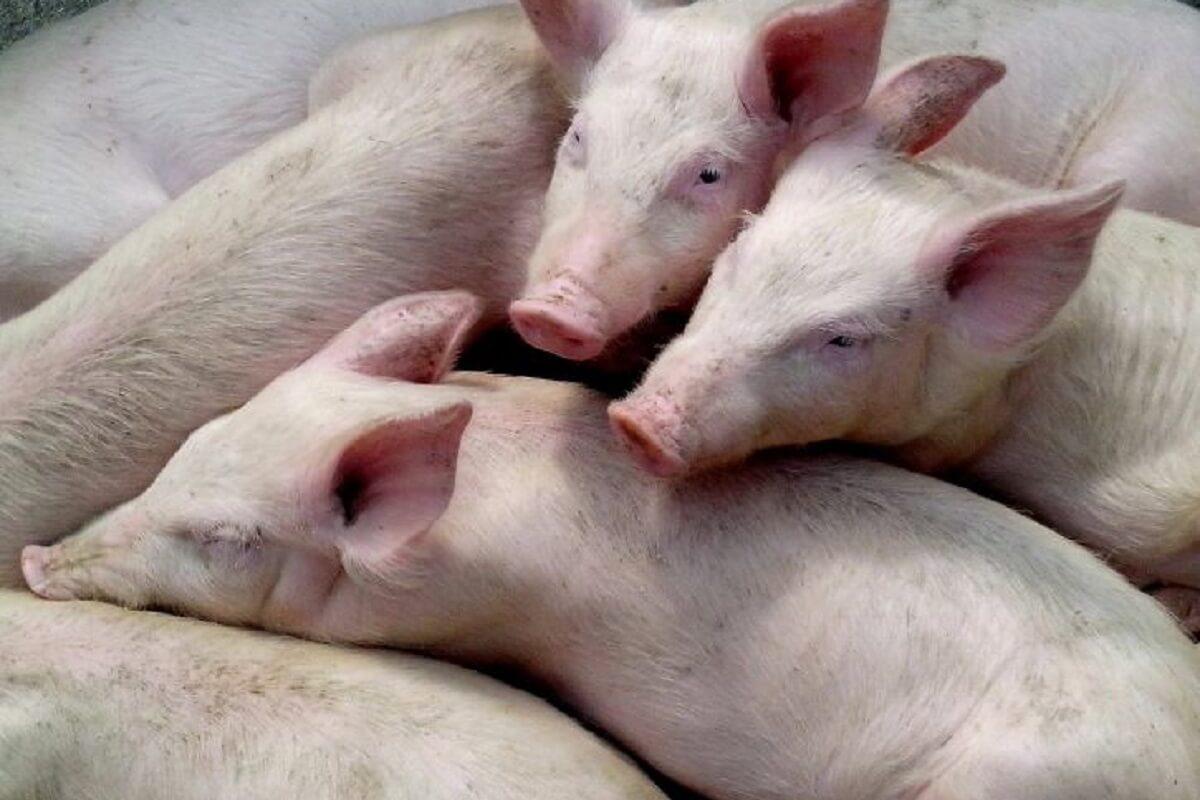 Esther Kef gaat 1000 kilometer langlaufen tegens varkensleed in de veehouderij