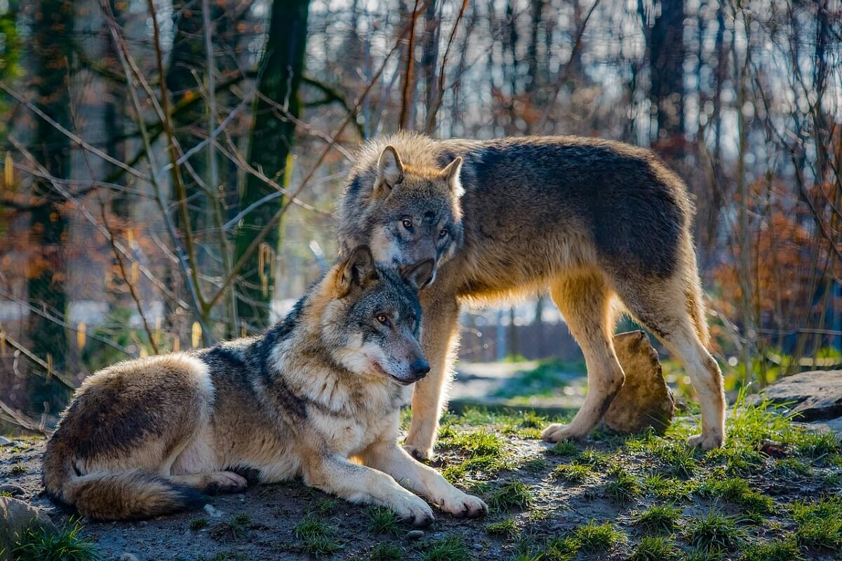 wolvenbeleid