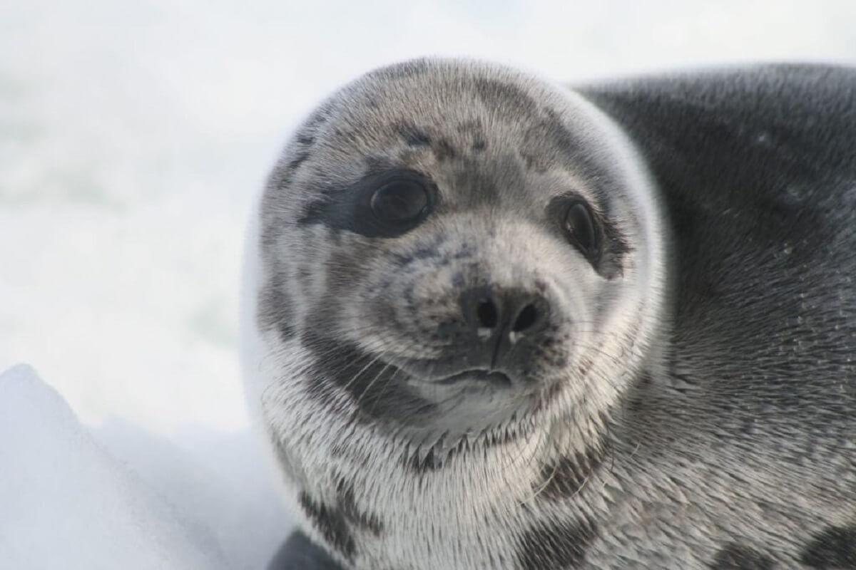 zeehondenjacht