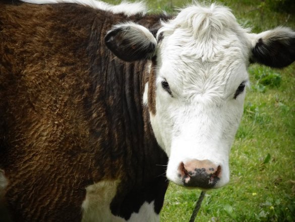 dode koeien