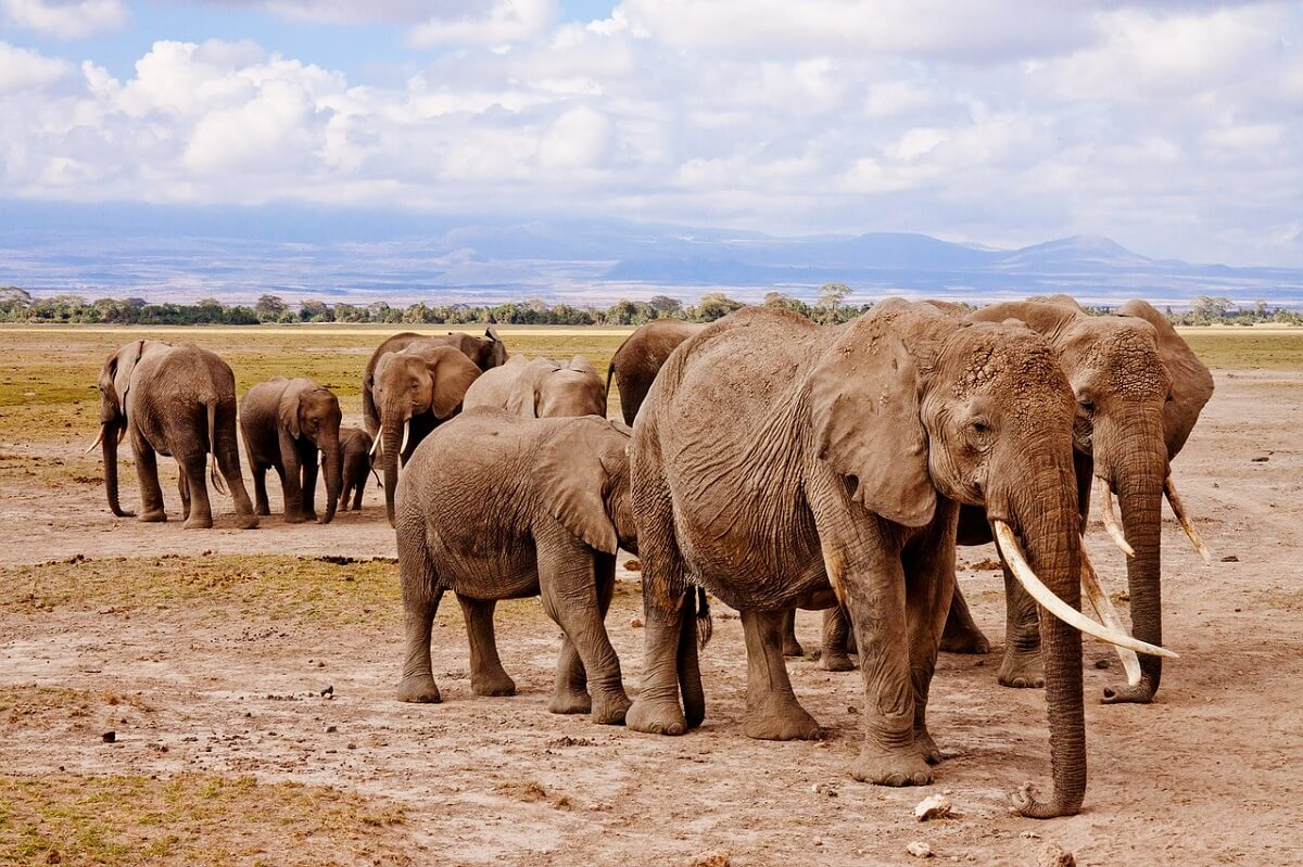 dodental olifanten
