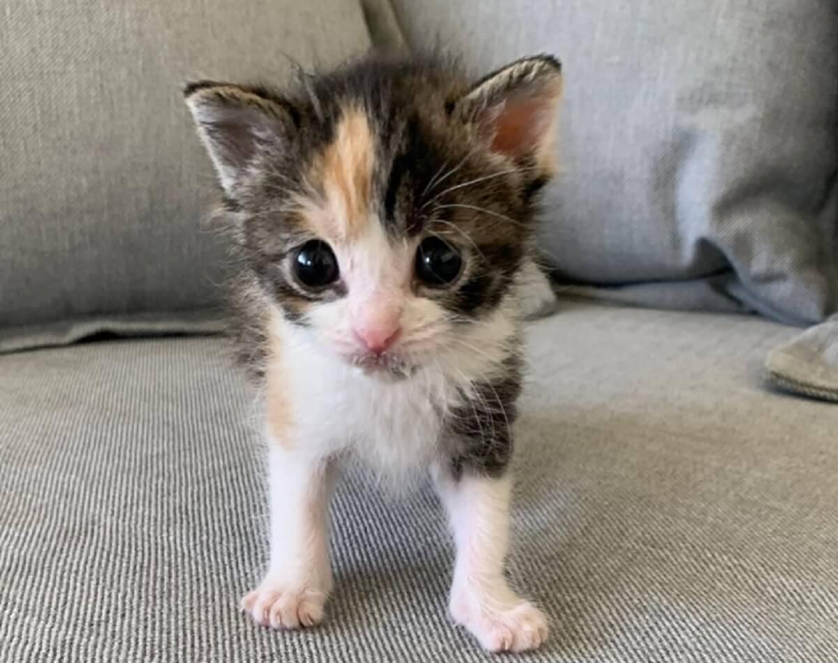 mini-kitten