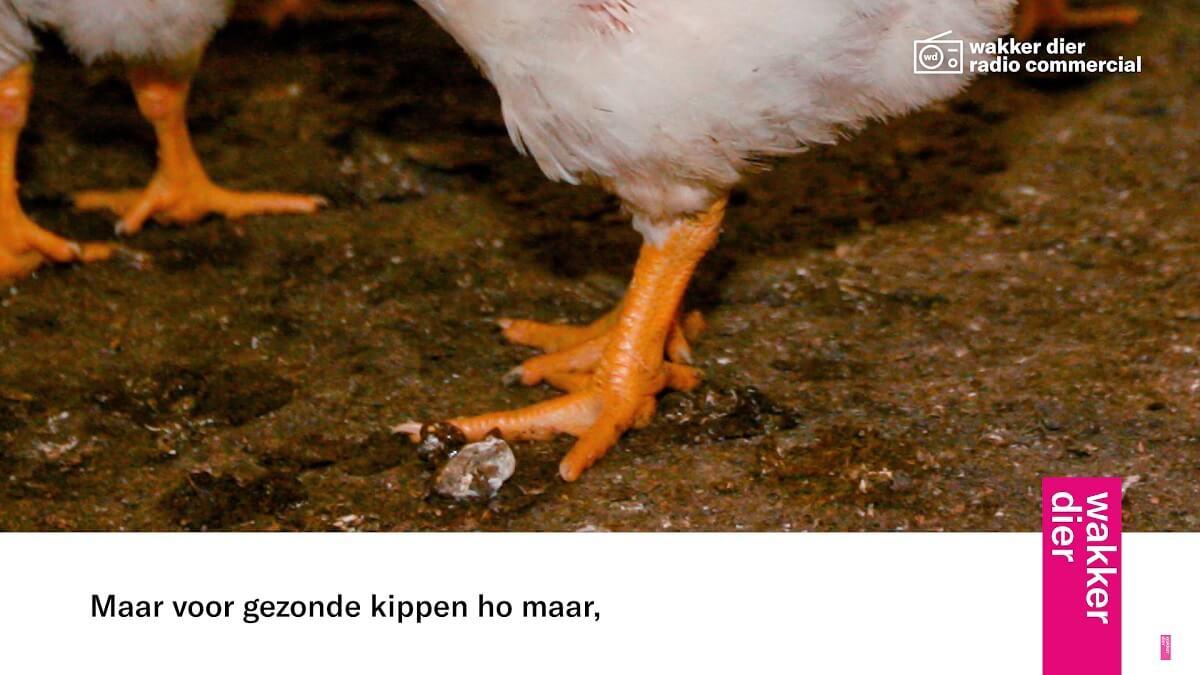 gezonde kippen