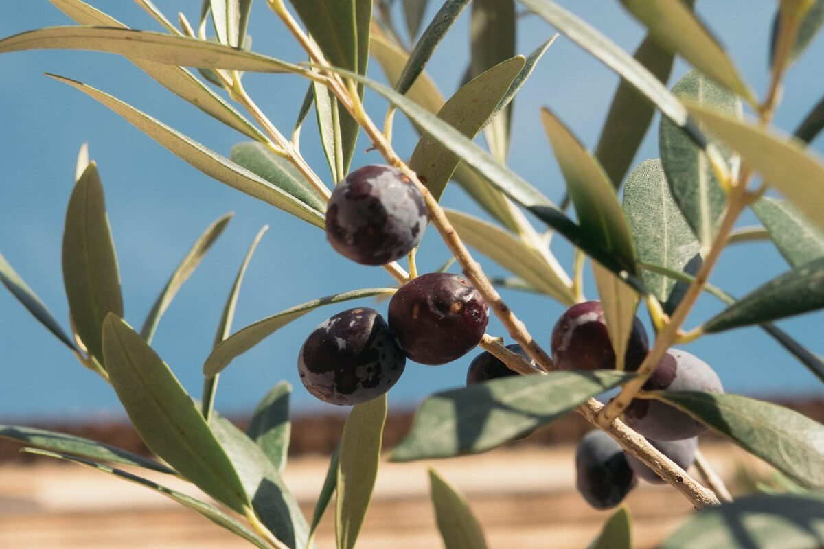 olijfoogst