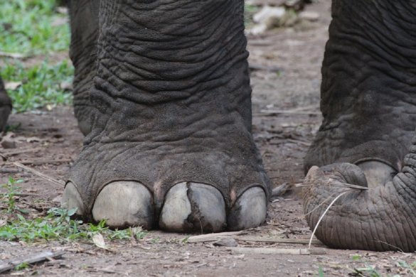 afgehakte olifantenpoten