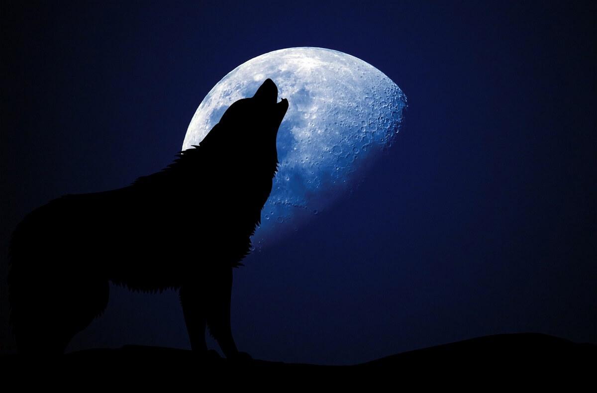Italiaanse wolf