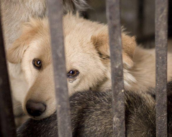 Yulin hondenvleesfestival