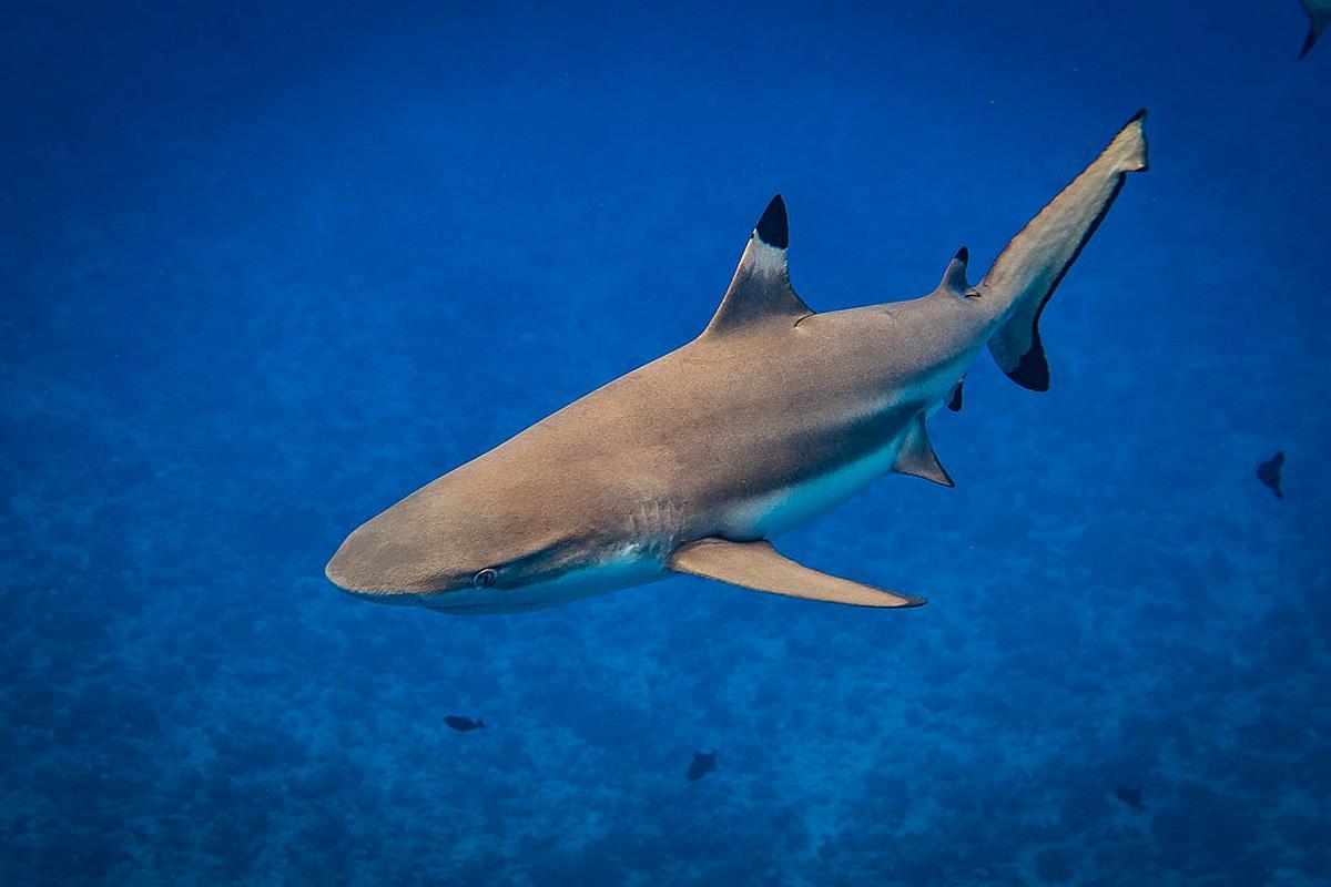 import haaienvinnen