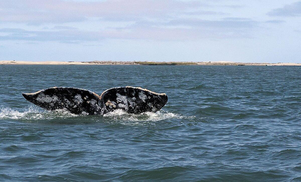 grijze walvissen